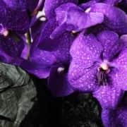 A10CY1818風華萬代--紫貴5500-2