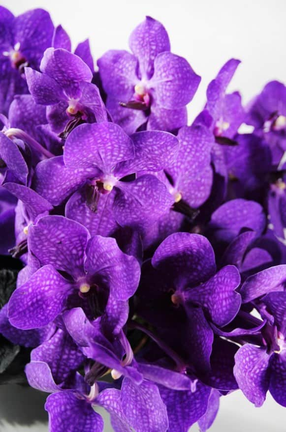 A10CY1818風華萬代--紫貴5500