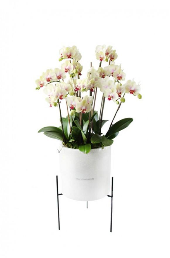 D05POWW02Y芬芳庭園-小型落地蘭花8000-黃-(1)