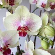 D05POWW02Y芬芳庭園-小型落地蘭花8000 黃 (4)