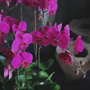 D05POWW03P蘭之芳庭-桃 落地蘭花 (1)