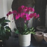 D05POWW03P蘭之芳庭-桃 落地蘭花 (2)