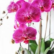 D05POWW03P蘭之芳庭-桃 落地蘭花 (4)