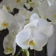 D05POWW03W蘭之芳庭-白 落地蘭花 (1)