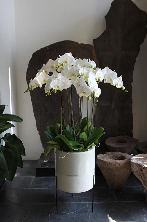 D05POWW03W蘭之芳庭-白 落地蘭花 (4)