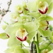 A02GLGG06青山亞蘭大型盆花12000 (1)