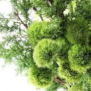 A02GLGG06青山亞蘭大型盆花12000 (2)