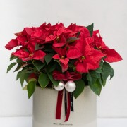 B0102191205(紅)B0102191206(黃)_聖誕紅 落地盆栽AB_5200 (9)